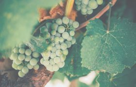 White grapes on a grapevine.