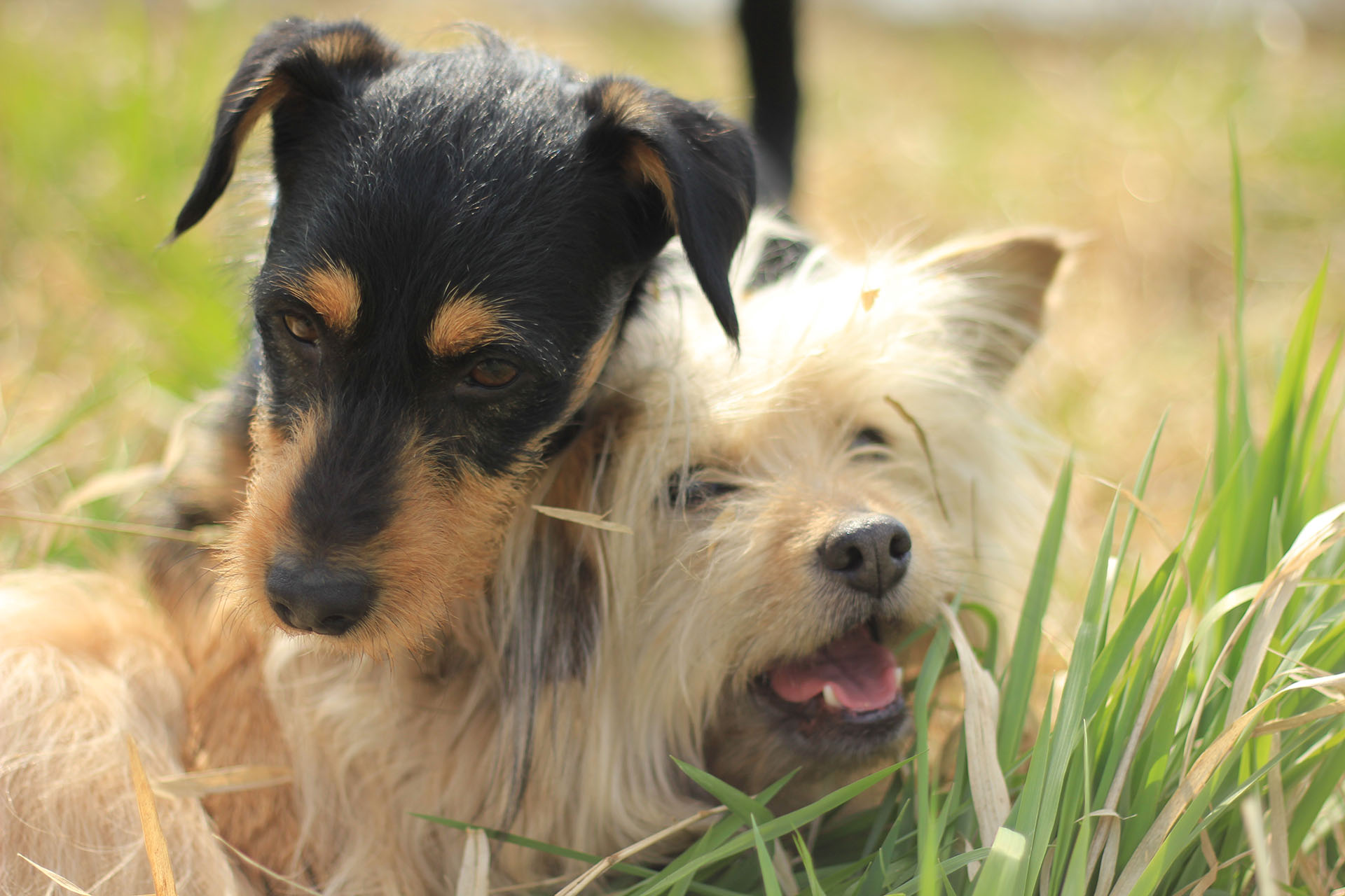 Two dogs playing together in the grass.